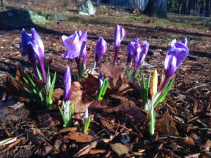 Spring in New Hampshire, flowers herald warm weather
