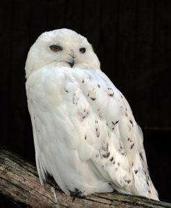 Snowy owl by Michael Gäbler