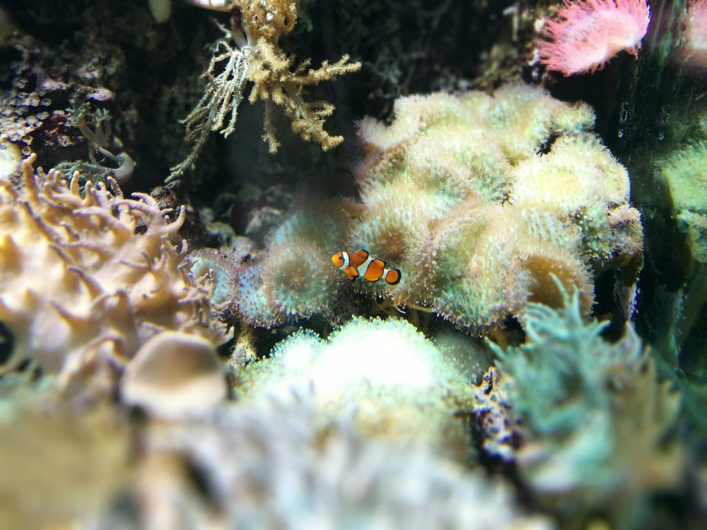 Clown Fish in a Tank