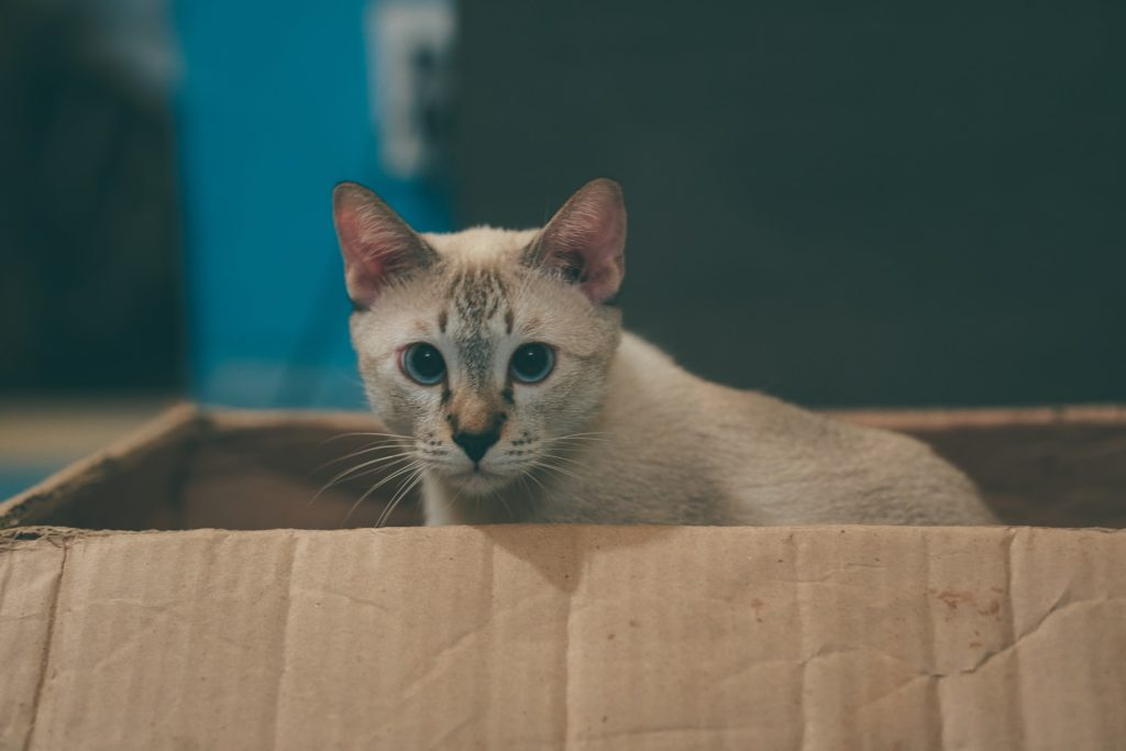Light brown cat with blue eyes sitting in a cardboard box