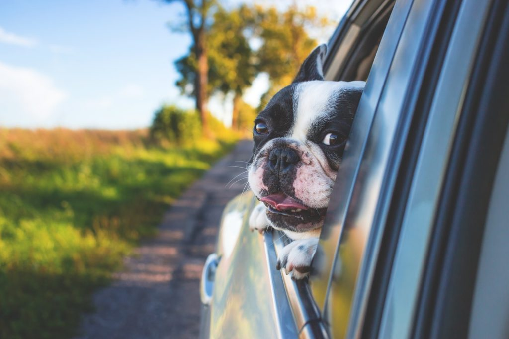 Boston terrier with its head out a car window